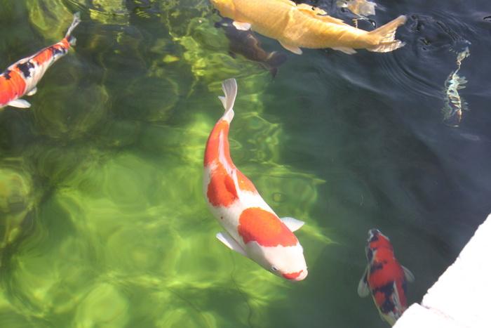 The koi pond of zoom 2 for 7194 garden pond