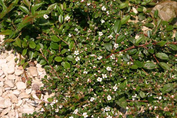 La galerie photos des membres d 39 aquatechnobel plantes et for Plante rampante