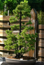 Maillot bonsai demo 2  16