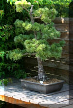 Maillot bonsai demo 2  14