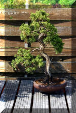 Maillot bonsai demo 2  7