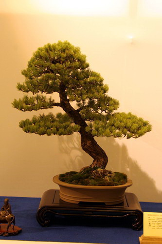 bonsai Jupinerus rigida moyogi