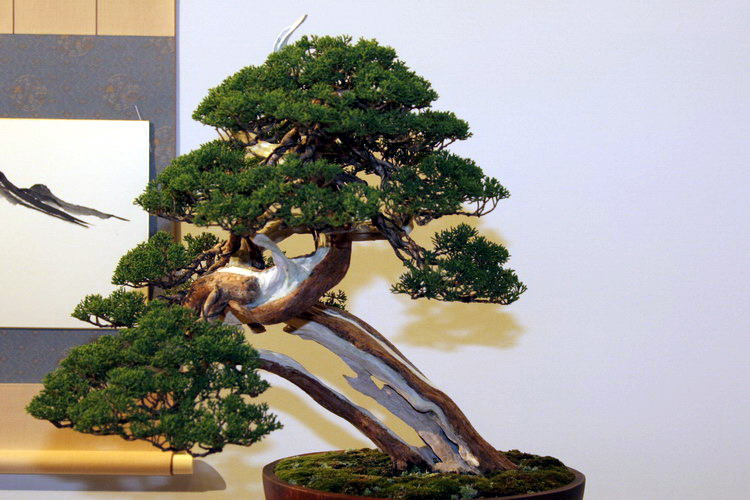 bonsai Jun chinesis itoigawa moyogi