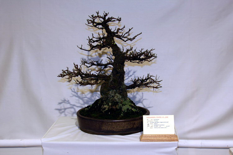 bonsai Prunus moyogi