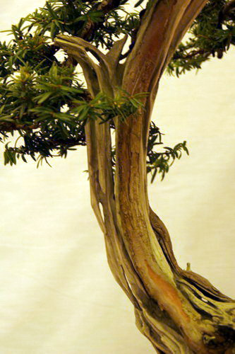 bonsai Jupinerus virginiana Han-kengai