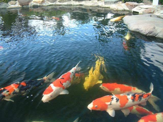 Frat brothers steal fry jumbo goldfish democratic for Koi fry pool