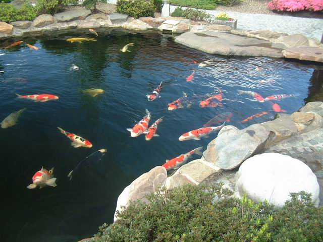Paradise of japanese ko for Filtre bassin poissons rouges