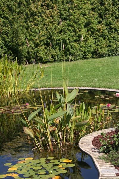 Le bassin de jardin naturel de mimulus for Bassin naturel jardin