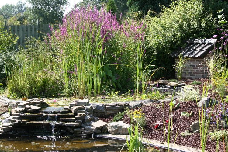 Le bassin de jardin naturel de mimulus 2 for Bassin naturel jardin