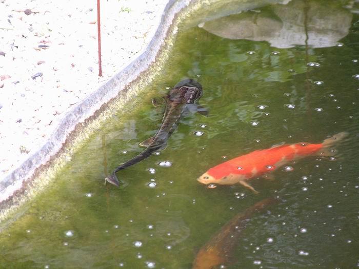 Le bassin de jardin de julien for Donne poisson pour bassin
