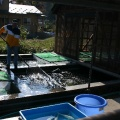 COGURO FISH FARM