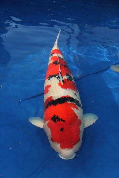 Grand champion Holland koi show 2012