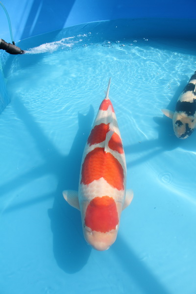 Supreme Champion Holland koi show 2012